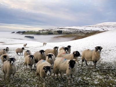 Sheep Waiting to Be Fed in Winter, Lower Pennines, Cumbria, England, United Kingdom, Europe-James Emmerson-Photographic Print