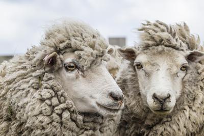 Sheep Waiting to Be Shorn at Long Island Sheep Farms, Outside Stanley, Falkland Islands-Michael Nolan-Photographic Print