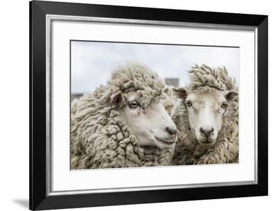 Sheep Waiting to Be Shorn at Long Island Sheep Farms, Outside Stanley, Falkland Islands-Michael Nolan-Framed Photographic Print