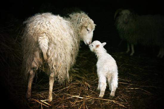 Sheep With A Lamb Standing In The Doorway Of The Barn