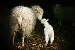 Sheep With Lamb in a Barn