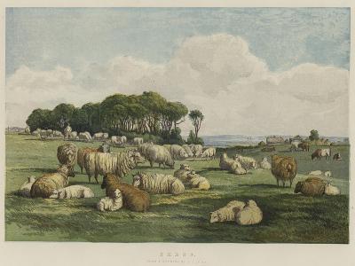 Sheep-Edward Duncan-Giclee Print