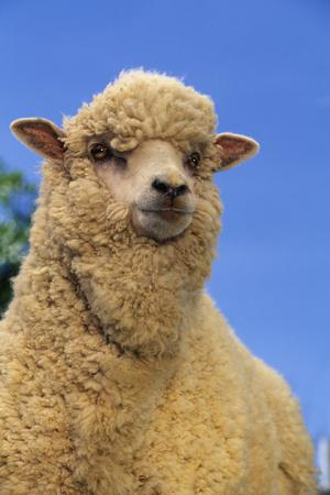 Sheep-DLILLC-Photographic Print