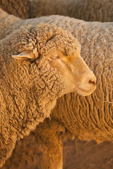 Sheep-Karyn Millet-Photographic Print