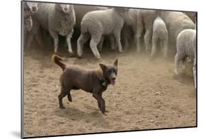 Sheepdog: Kelpie Helping to Muster Sheep