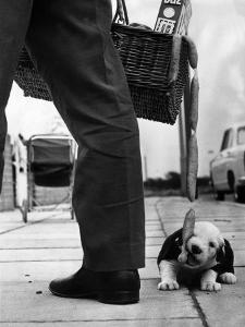 Sheepdog Puppy Stealing a String of Sausages Which are Hanging Down from a Wicker Shopping Basket