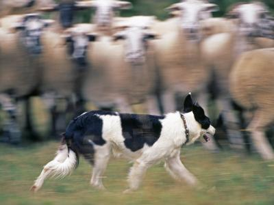 Sheepdog Rounding Up Domestic Sheep Bergueda, Spain, August 2004-Inaki Relanzon-Photographic Print