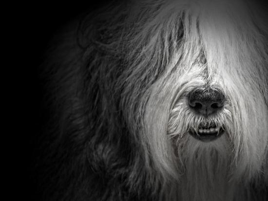 Sheepdog-Lori Hutchison-Photographic Print