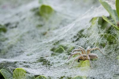 Sheet Spiders with Webs, Los Angeles, California-Rob Sheppard-Photographic Print