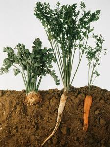 Celeriac, Parsley, Carrot (In Soil, Root and Leaves Visible) by Sheffer Visual Photos
