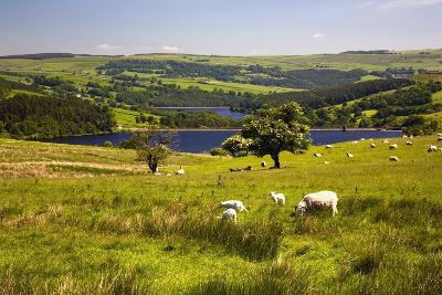 Sheffield, South Yorkshire, England; Sheep Grazing in a Pasture-Design Pics Inc-Photographic Print