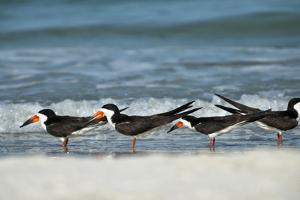 Black Skimmers Standing on Shore by Sheila Haddad