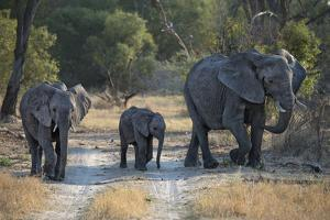 Elephant Family, Mother, Juvenile and Baby, Walking on Path by Sheila Haddad