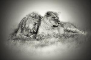 Lioness and Son Sitting and Nuzzling in Botswana Grassland, Africa by Sheila Haddad