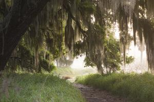 Morning Light Illuminating the Moss Covered Oak Trees in Florida by Sheila Haddad