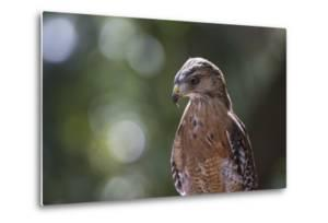 Portrait of a Perched Hawk with Intense Gaze Against Green Background by Sheila Haddad