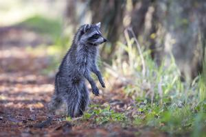 Raccoon Standing on Hind Legs Intently Looking by Sheila Haddad