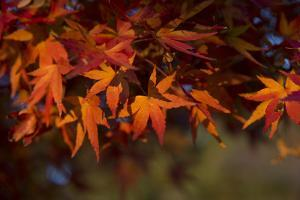 Red Japanese Maple Leaves by Sheila Haddad