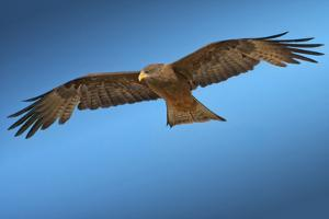 Tawny Eagle Flying, Filling Frame by Sheila Haddad