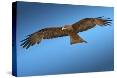 Tawny Eagle Flying, Filling Frame