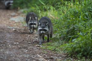 Two Raccoons Walking by Sheila Haddad