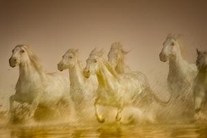 White Horses of Camargue, France Running in Mediterranean Water by Sheila Haddad