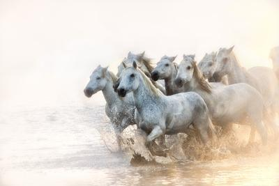 White Horses of Camargue Running in the Mediterranean Water at Sunrise