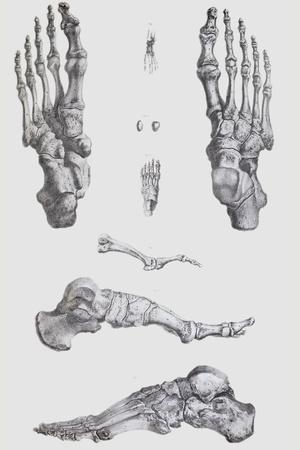 Foot Bones