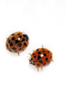 Harlequin Ladybirds by Sheila Terry