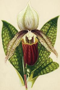 Lady's Slipper Orchid by Sheila Terry