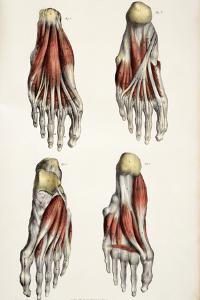 Muscles of the Foot by Sheila Terry