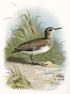 Sandpiper, Historical Artwork by Sheila Terry