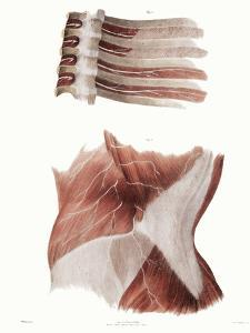 Torso Nerves by Sheila Terry