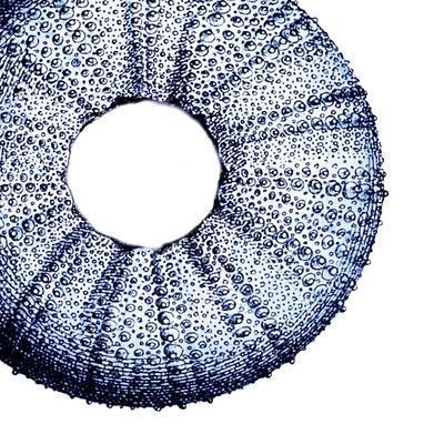 Urchin Shell 1