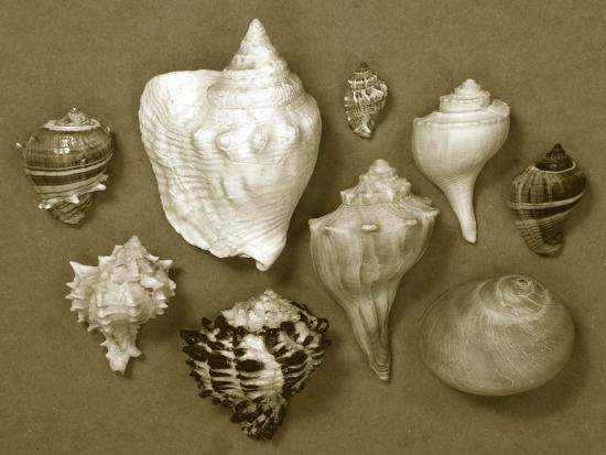 Shell Collector Series I-Renee W^ Stramel-Photographic Print