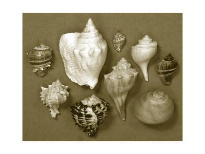 https://imgc.artprintimages.com/img/print/shell-collector-series-i_u-l-q1bijrw0.jpg?p=0