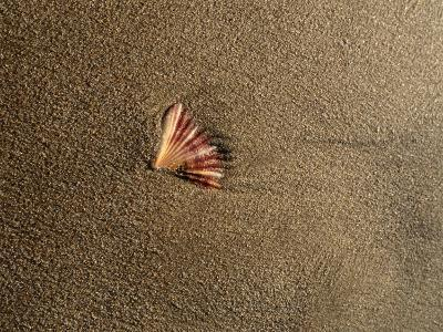 Shell on Sand at Bermagui Beach-Sam Abell-Photographic Print