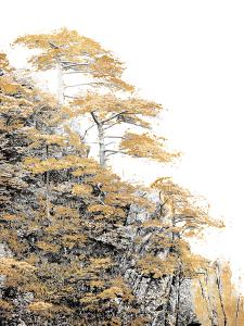Immortal Pine by Shelley Lake