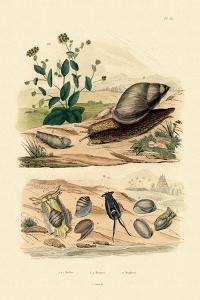 Shells, 1833-39