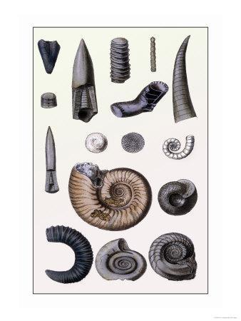 https://imgc.artprintimages.com/img/print/shells-cephalopoda_u-l-p292nr0.jpg?p=0