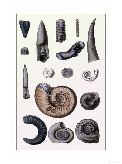 Shells: Cephalopoda-G^b^ Sowerby-Art Print