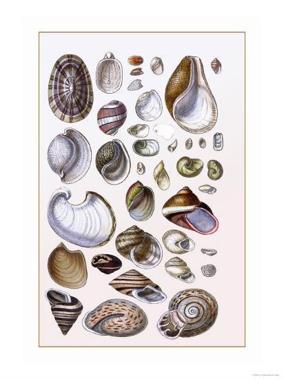 Shells: Gasteropoda and Trachelipoda-G^b^ Sowerby-Art Print