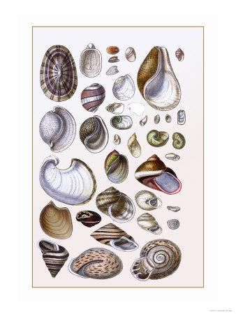 https://imgc.artprintimages.com/img/print/shells-gasteropoda-and-trachelipoda_u-l-p292hj0.jpg?p=0