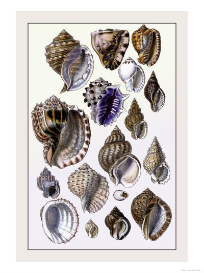 Shells: Purpurifera-G^b^ Sowerby-Art Print