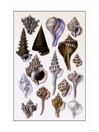 Shells: Trachelipoda-G^b^ Sowerby-Art Print