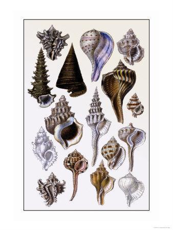 https://imgc.artprintimages.com/img/print/shells-trachelipoda_u-l-p292kb0.jpg?p=0
