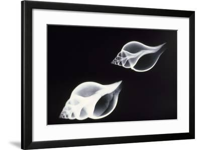 Shells X-Ray--Framed Photographic Print