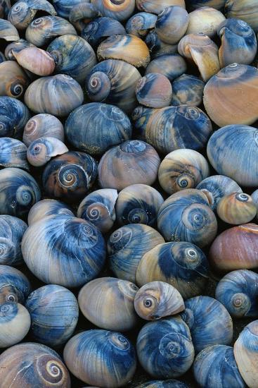 Shells-Darrell Gulin-Photographic Print