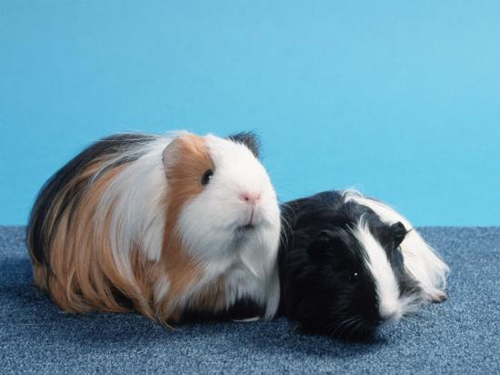 Sheltie Guinea Pig with Young-Petra Wegner-Photographic Print