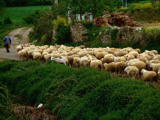 Shepherd Leading Flock of Sheep, Belorado, Spain Photographic Print by  Wayne Walton | Art com